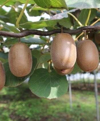 Kiwi Hybrid  'Zakarpacie'