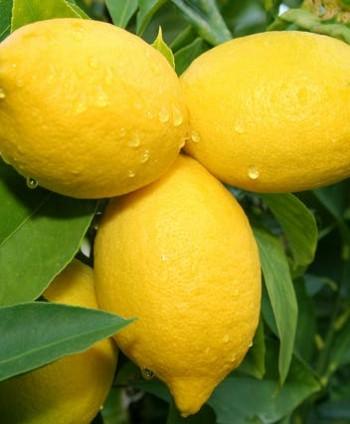 Citrón 'Limon'