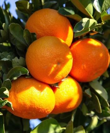 Mandarinka 'Clementina'