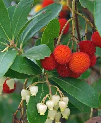 Jahodový strom