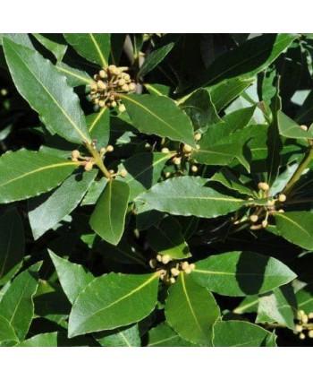 Vavrín pravý ( bobkový list )