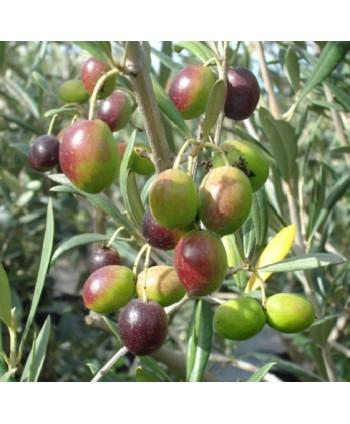 Olivovník európsky Fit