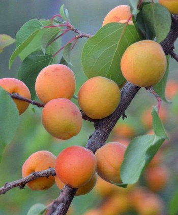 Marhuľa 'Early Orange'